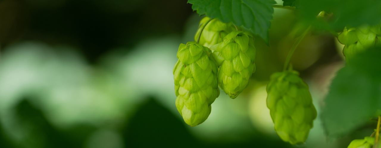 hops-cultivation-in-india